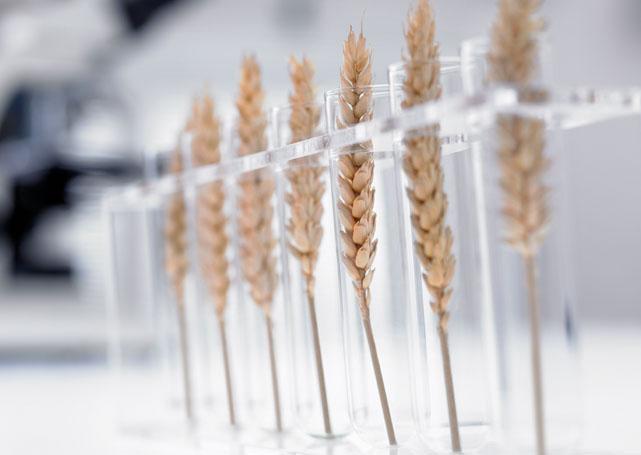 badanie zbóż
